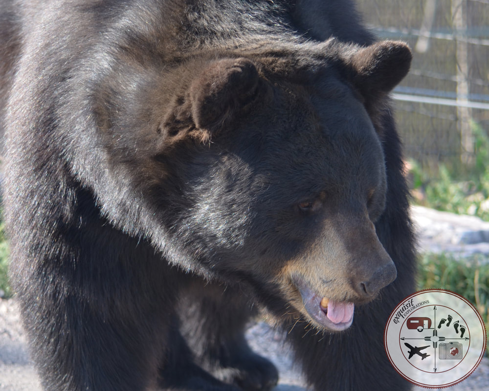 Black Bear at Bear Country USA, South Dakota Itinerary, Ultimate South Dakota Road Trip, Road Trip Through South Dakota, Travel, RV lifestyle, RV living, RVing