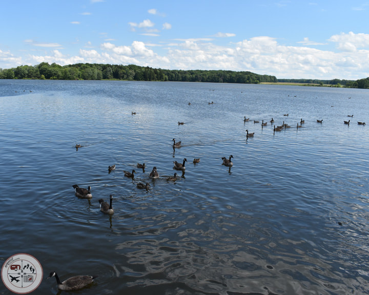 Feed the Waterfowl at the Pymatuning Spillway #linesvillepa #northwestPA #pymatuningspillway