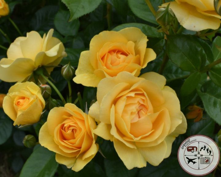 Yellow Roses, Tralee; Rose of Tralee Rose Garden; Ireland; the ultimate Ireland road trip
