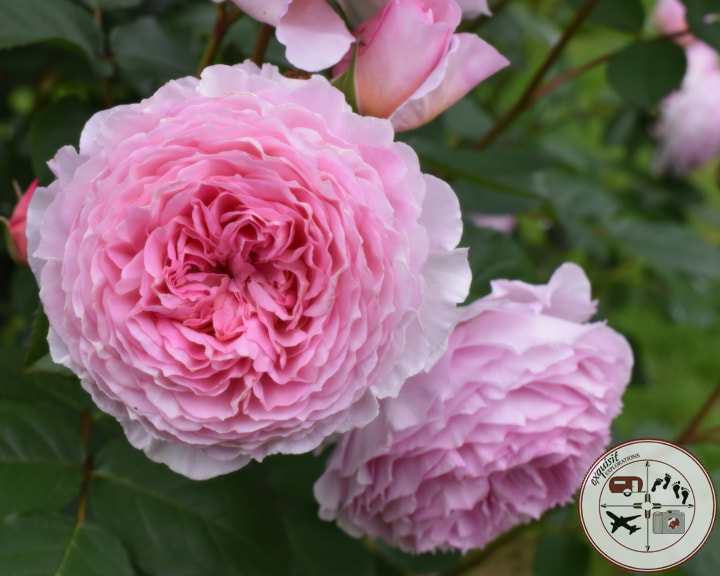 Delicate Pink Roses at the Rose of Tralee Rose Garden; the ultimate Ireland road trip