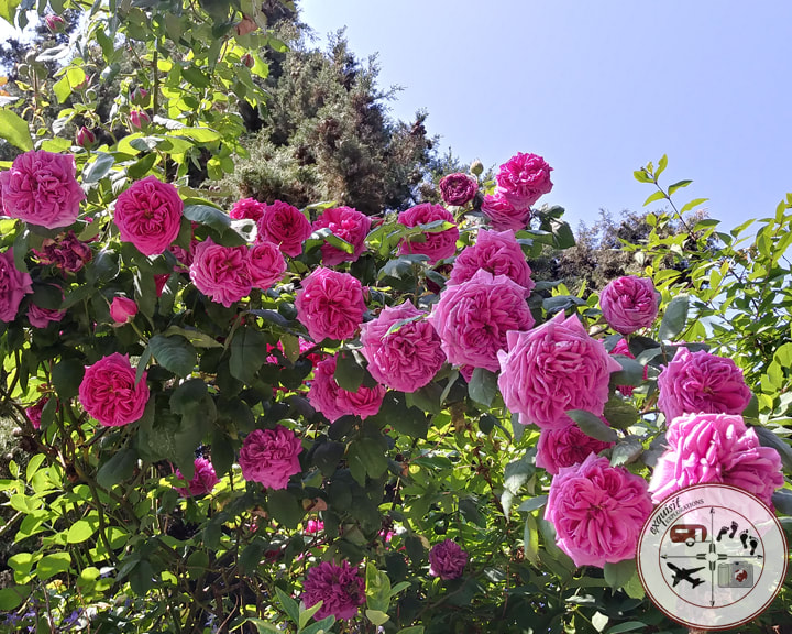 Pink Roses in Notting Hill; beautiful places; things to see in London
