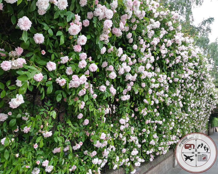 Rose Hedge in Notting Hill, London; travel tips by exquisitEXPLORATIONS travel blog
