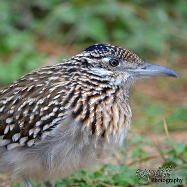 greater roadrunner, roadrunner photo, texas, nature photo, travel photo
